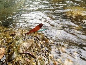 川には珍しい虫も